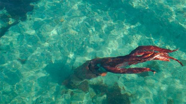 /index.php/curiosidades-en-la-red/32962/fotografian-un-ejemplar-vivo-de-calamar-gigante-en-la-costa-de-galicia