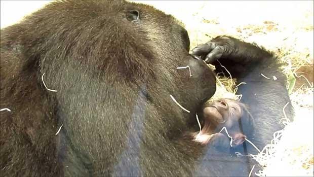 /index.php/curiosidades-en-la-red/30495/una-gorila-del-zoo-de-madrid-da-a-luz-delante-de-todos-los-visitantes