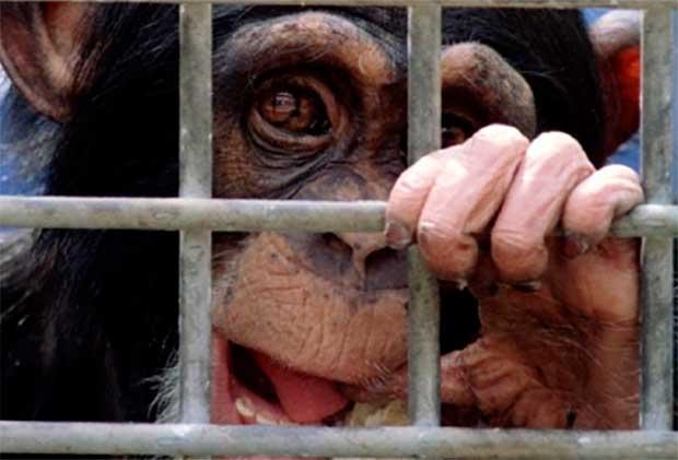 /index.php/curiosidades-en-la-red/25385/el-gobierno-de-ee-uu-pone-fin-al-uso-de-chimpances-para-investigacion-medica